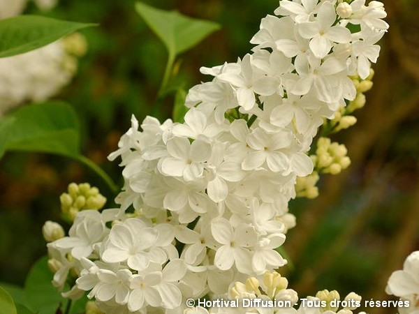 Lilas commun Primrose