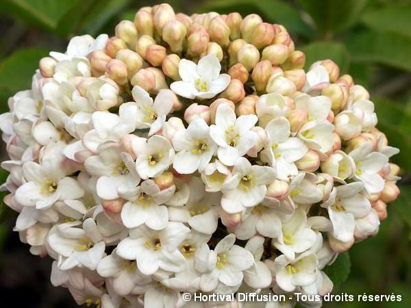 Viorne hybride à grosse fleurs