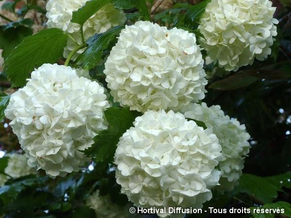 Viorne obier Boule de Neige, Rose de Gueldre