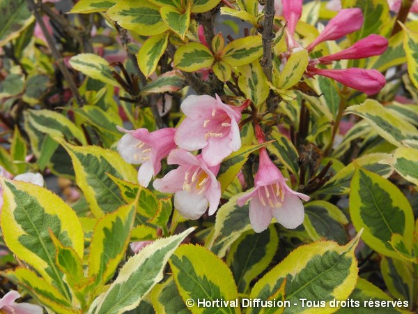 Weigelia MAGICAL® RAINBOW