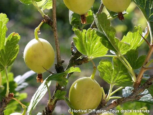 Groseillier à maquereau Blanc, raisin crépu