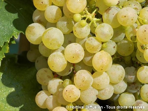 Vigne Chasselas de Fontainebleau