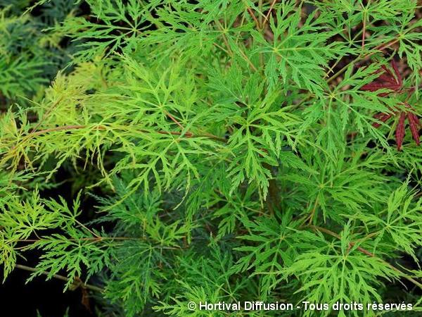 Erable du Japon lacinié Emerald Lace