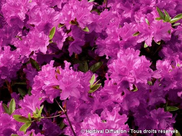 Azalée japonaise Purple Splendor