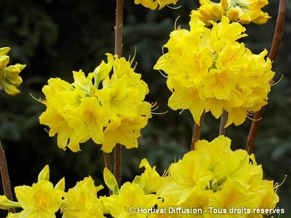 Azalée à feuilles caduques Lingot d'Or