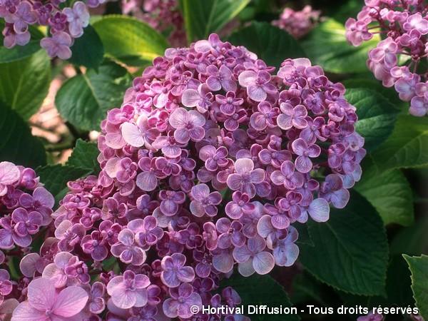 Hortensia Ayesha, Hortensia à fleurs de lilas