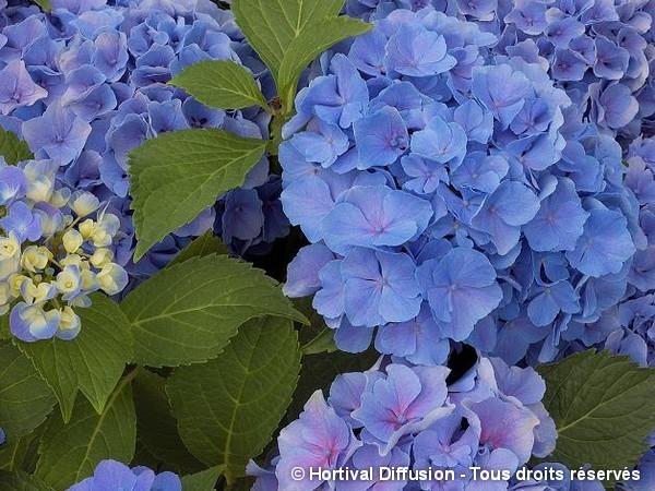 Hortensia Benelux bleu