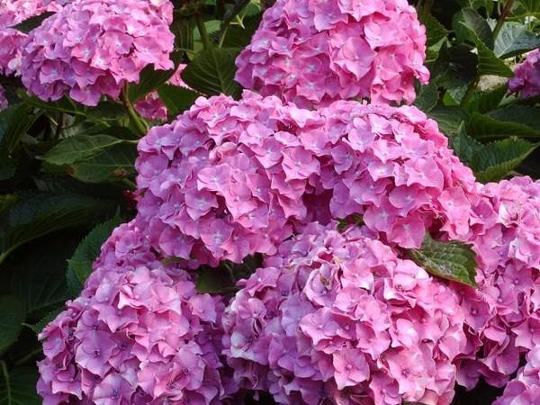 Hortensia Benelux rose
