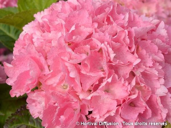 Hortensia BIG DATA® PINK