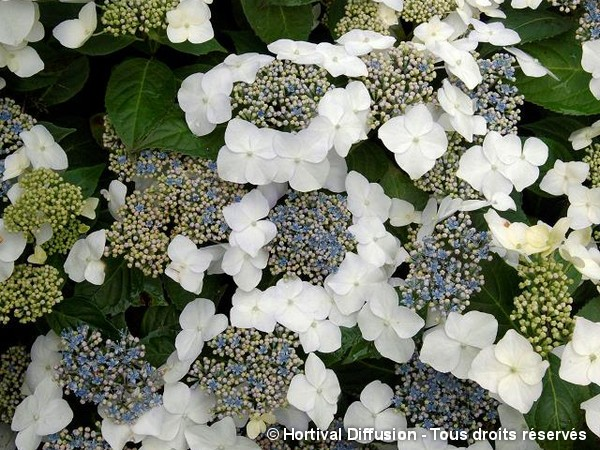 Hortensia Blanc Bleu GREAT STAR®