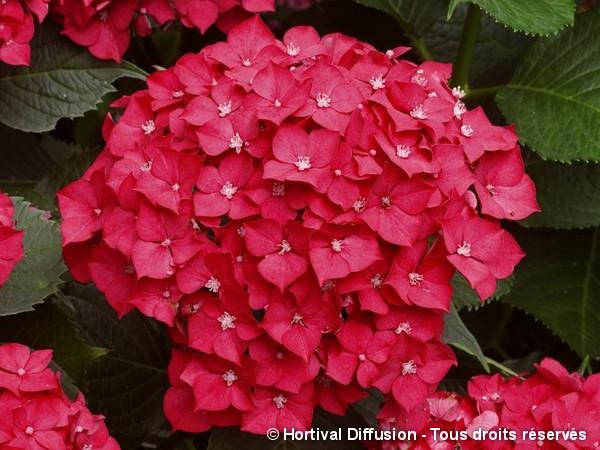 Hortensia Leuchtfeuer