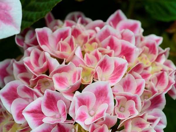 Hortensia RED ACE®