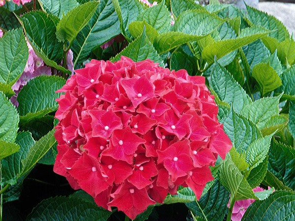 Hortensia ROYAL RED®