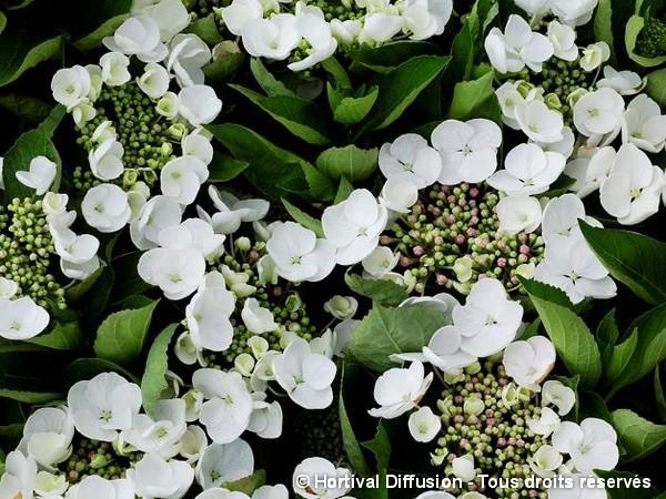 Hortensia Teller Weiss = Libelle
