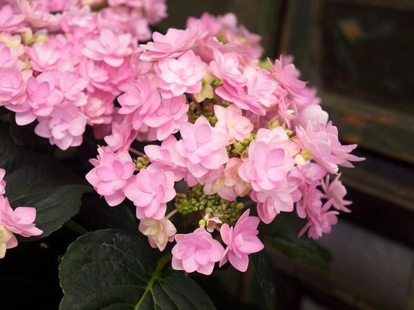 Hortensia YOU & ME® ROMANCE