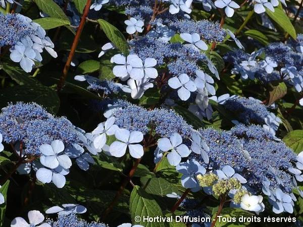 Hortensia des montagnes Blue Bird