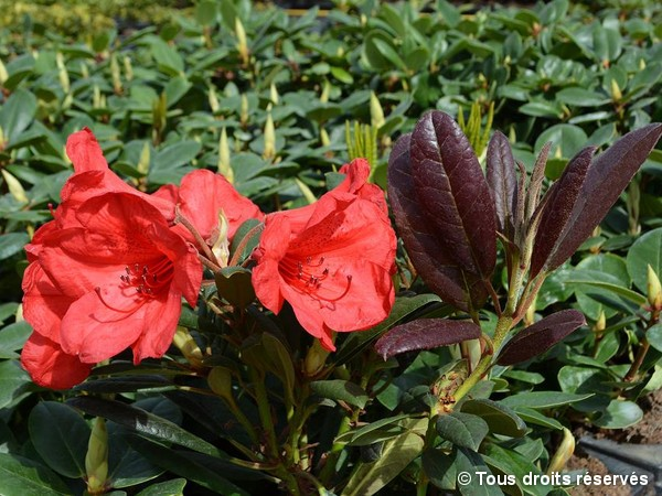 Rhododendron Elizabeth Red Foliage