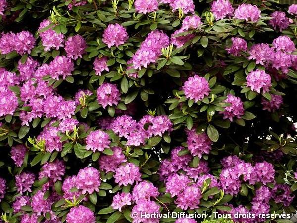 Rhododendron hybride Fastuosum Plenum