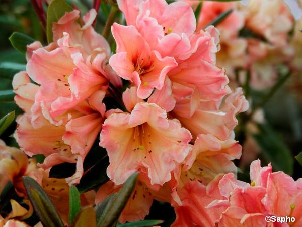 Rhododendron SIR WHITE RUBY®