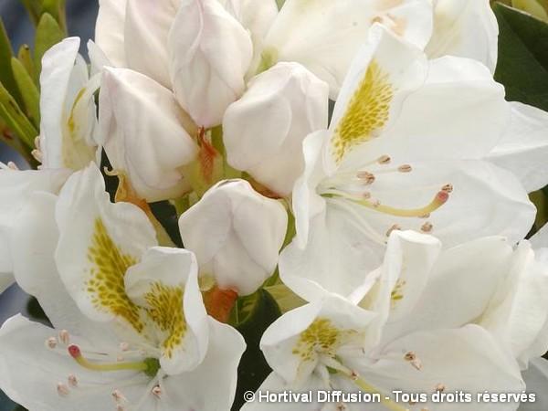 Rhododendron hybride Madame Masson