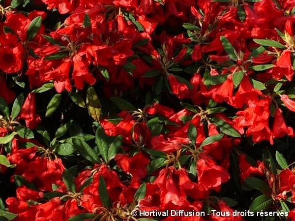 Rhododendron nain Scarlet Wonder