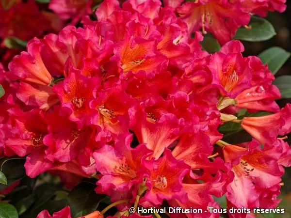 Rhododendron Scyphocalyx