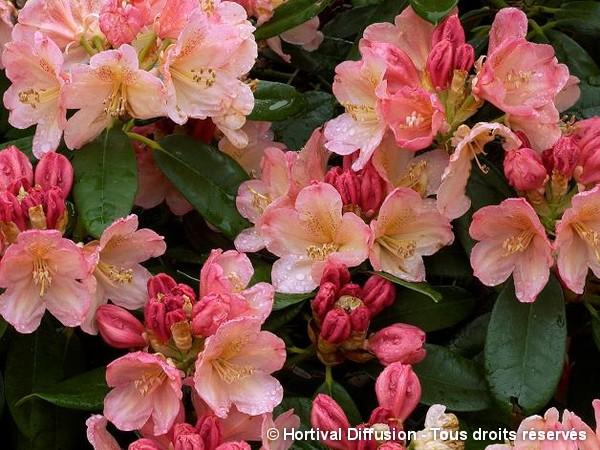 Rhododendron de Yakushima Percy Wiseman