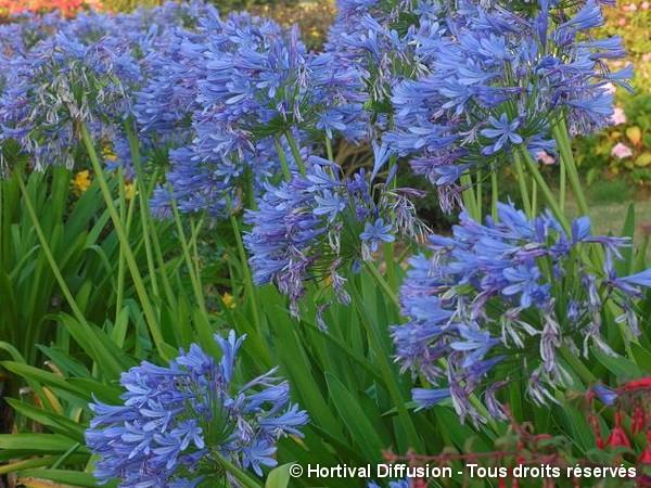 Agapanthe à ombelle bleue, fleur de l'amour