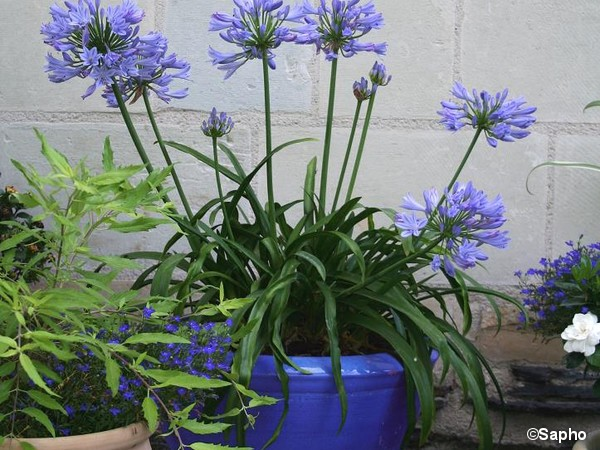Agapanthe PITCHOUNE® BLUE