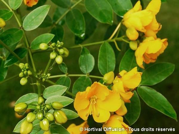Cassia floribonde