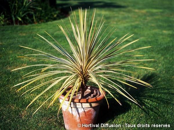 Cordyline d'Australie Torbay Dazzler