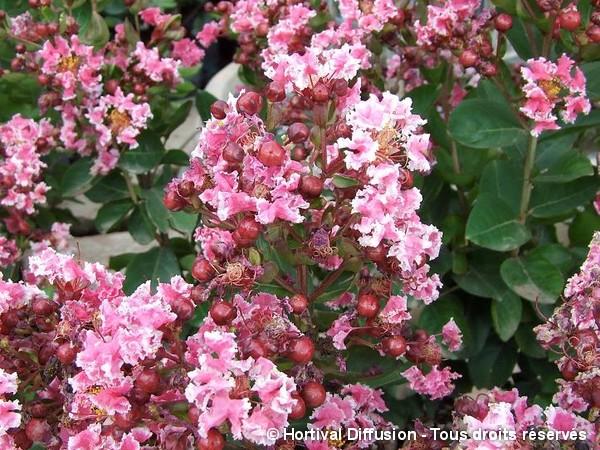 Lilas des Indes Berlingot Menthe, Lilas d'été = Peppermint Lace