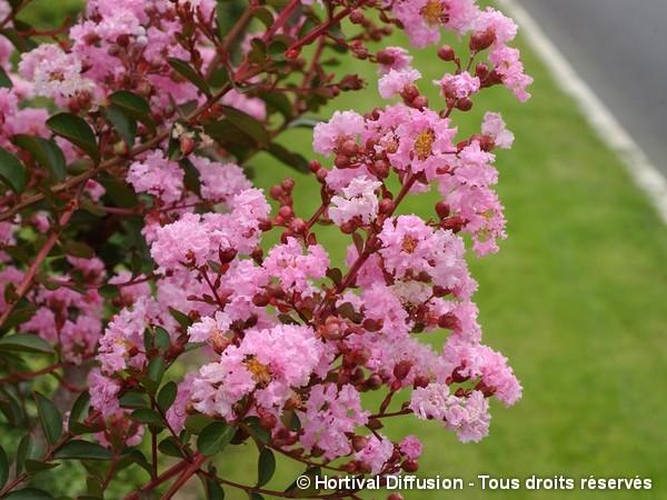 Lilas des Indes PINK GRAND SUD®, Lilas d'été
