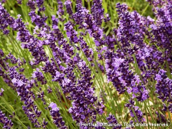 Lavande vraie Twickel Purple