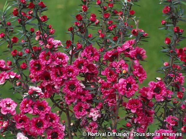 Leptospermum Jubilée