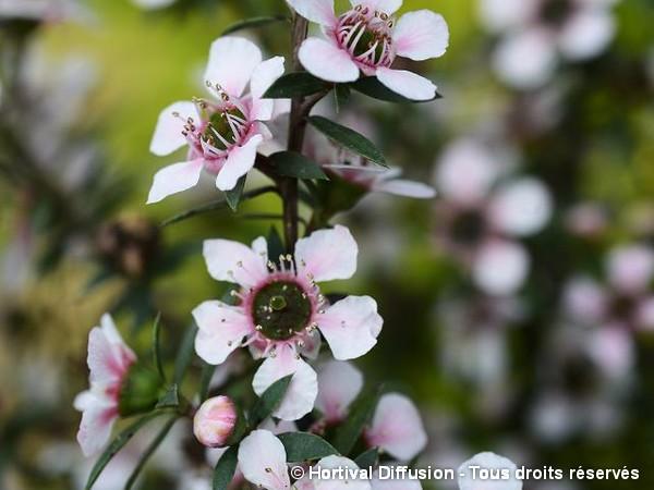 Leptospermum Nana Huia