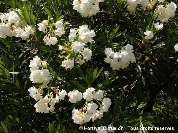 Laurier-rose à fleurs blanches