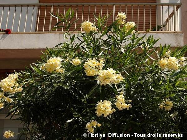 Laurier-rose à fleurs jaunes