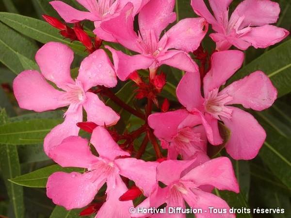 Laurier-rose à fleurs roses