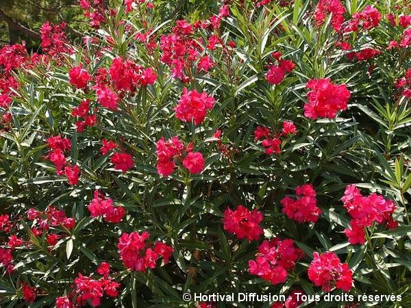 Laurier-rose à fleurs rouges