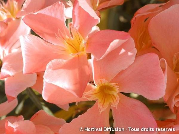 Laurier-rose à fleurs saumon