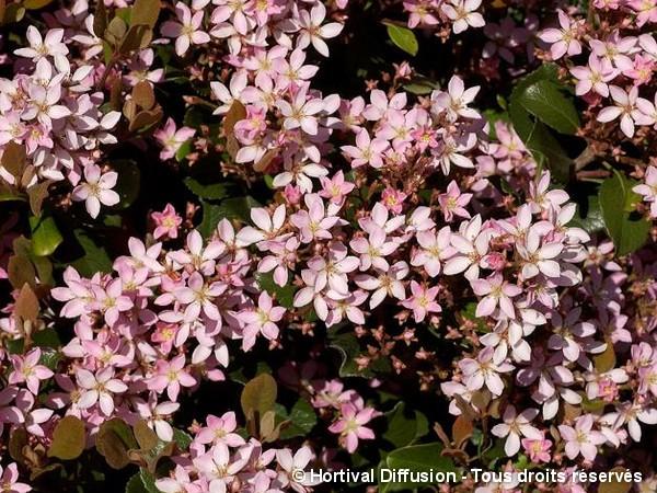 Rhaphiolepis des Indes Springtime