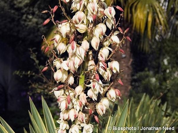 Yucca superbe panaché