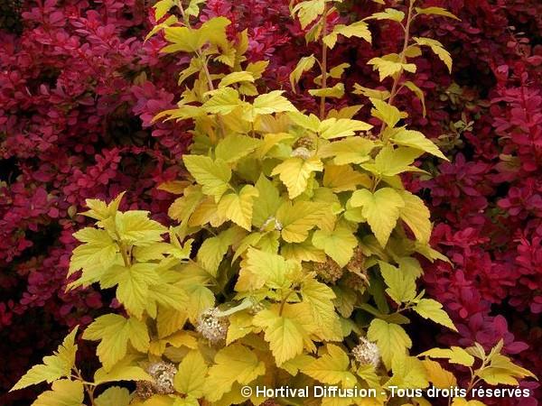 Physocarpus à feuilles d'obier ANGEL GOLD®