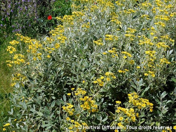 Séneçon arbustif compact Drysdale