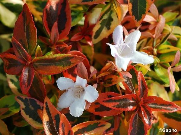 Abélia à grandes fleurs Kaleidoscope
