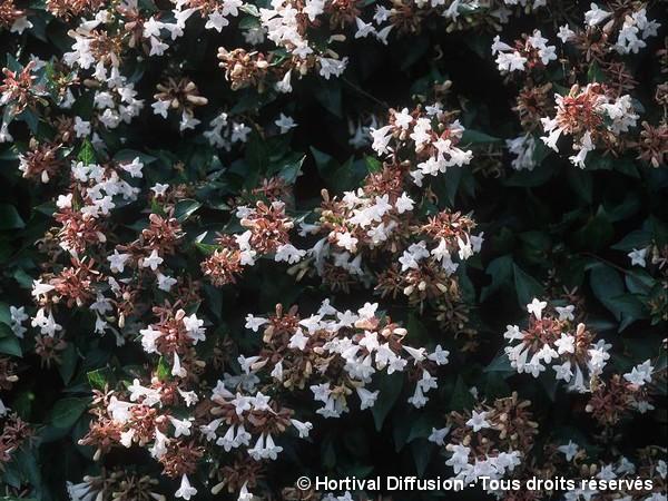 Abélia à grandes fleurs Semperflorens