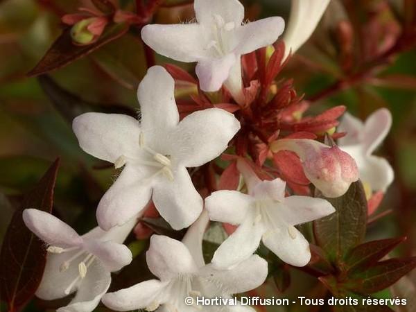 Abélia à grandes fleurs Sherwood
