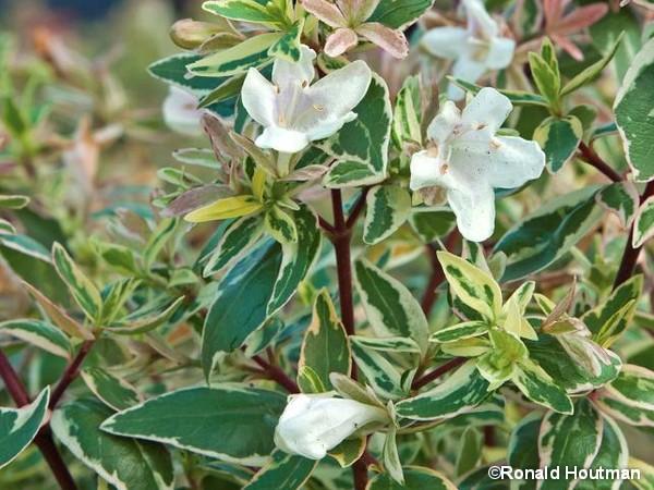 Abélia à grandes fleurs SPARKLING SILVER®