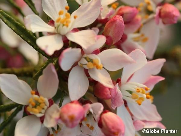 Oranger du Mexique APPLE BLOSSOM®